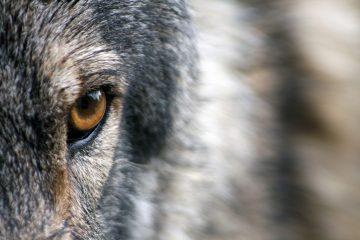 Le loup et le scientifique