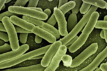 Surprenantes découvertes du professeur Dominique Schneider dans l'univers des bactéries